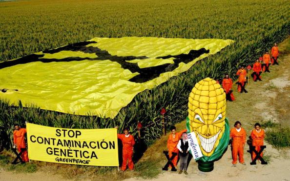 Syngenta verbreitet ohne Zulassung Gen-Mais