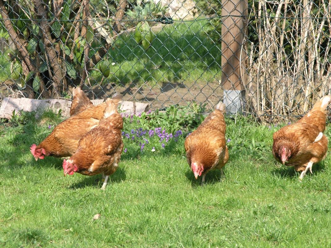 Hennenhaltung: Aus für Hühnerkäfig noch nicht gesichert