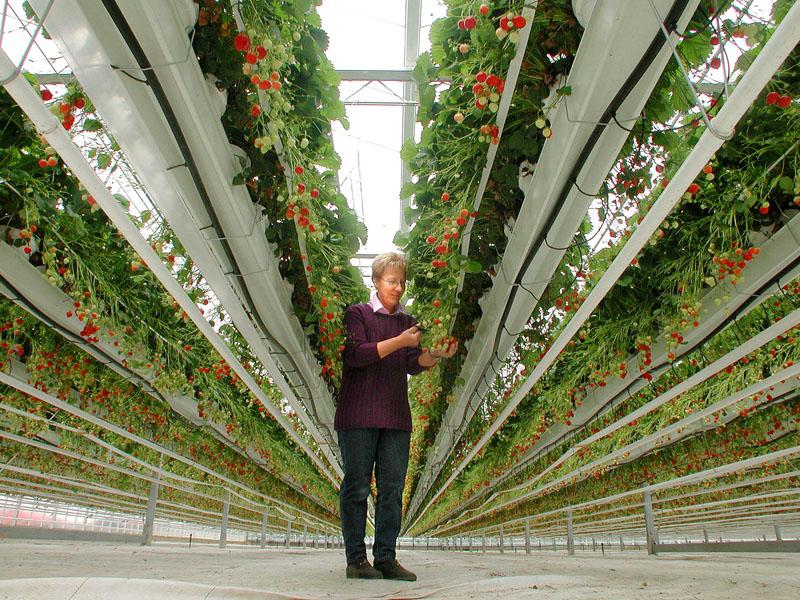 Moderne Erdbeerkulturen im Rheinland