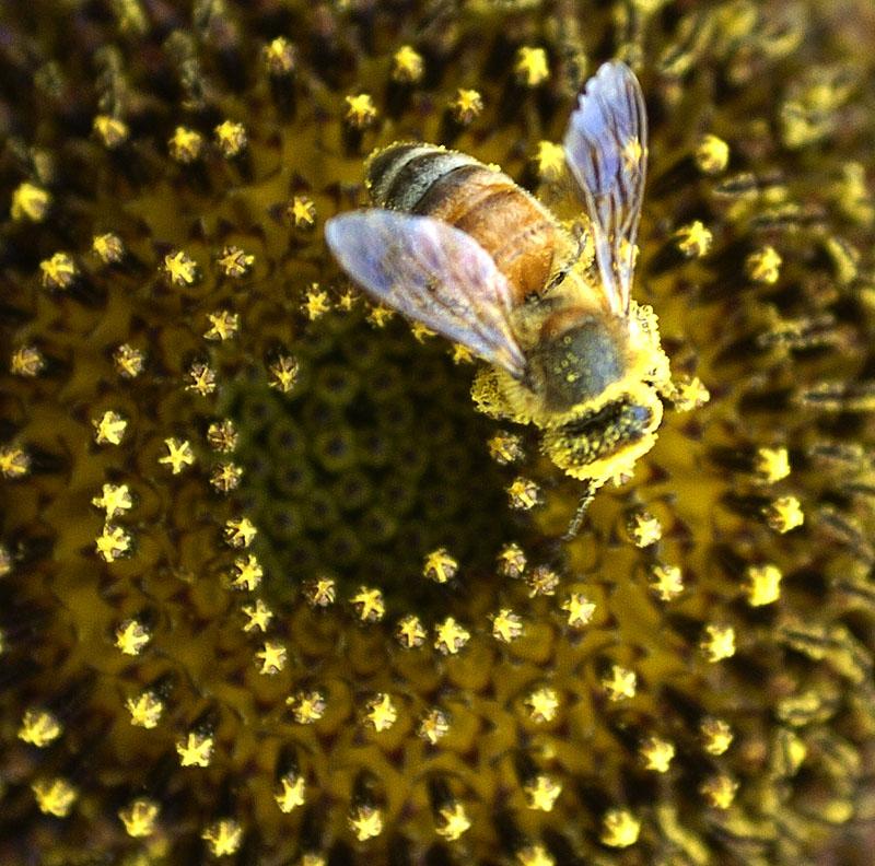 Eine Honigbiene in einer Sonnenblumen-Blüte