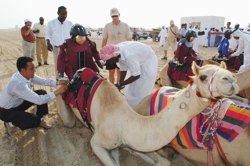 Erstes Kamelrennen mit Robotern als Jockeys auf der Al Shahaniyya Kamel-Rennstrecke in Doha, Katar