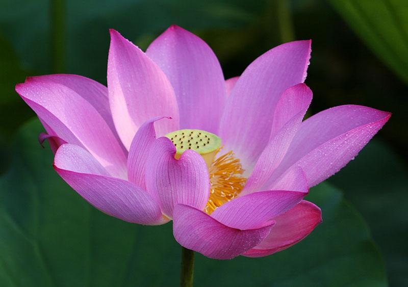 Die Lotusblume