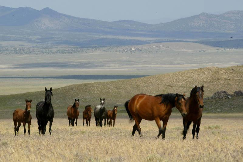 Zählung der wild lebenden Pferde im amerikanischen Westen