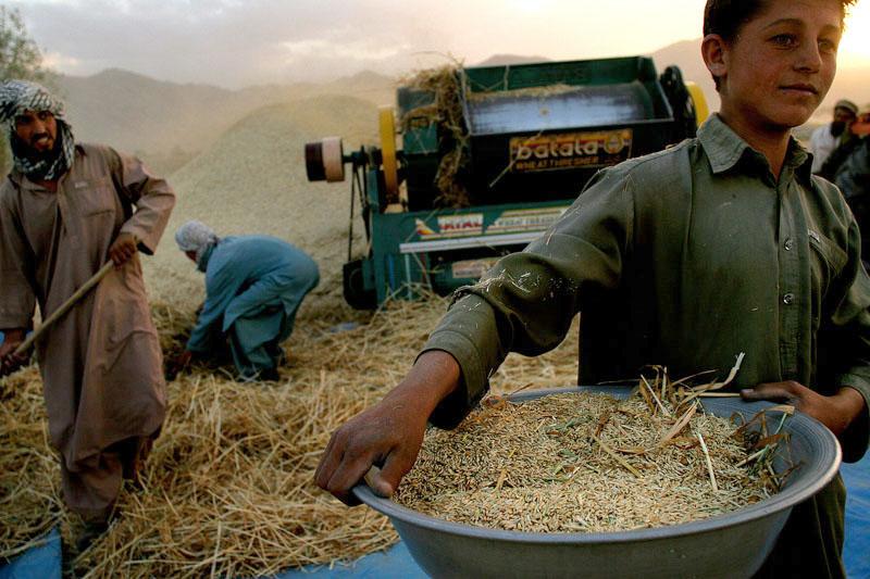 Nach sieben Jahren Dürre wieder eine gute Weizenernte in Afghanistan