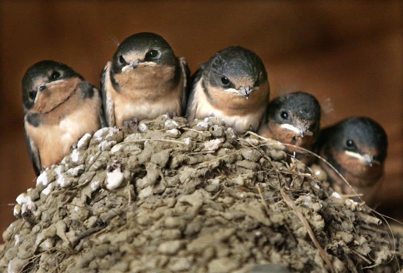 Schwalben warten auf die Fütterung durch ihre Mutter in Chesterland, Ohio