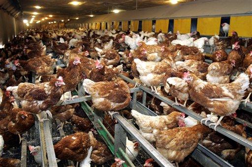 Stallpflicht für Geflügel ab 20. Februar