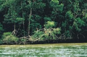 Urwaldufer am Orinoco mit Scharlach-Ibissen (