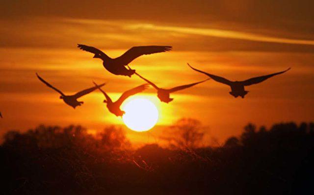 Gänse im Sonnenuntergang in der Nähe von North Hannover, New Jersey. (Bild - AP Photo/Mel Evans)