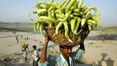 Gurken am Ganges