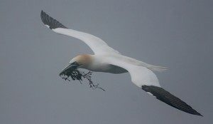 BUILDING: A Northern Gannet approaches Bird Rock, a giant sea stack at Cape St. Mary