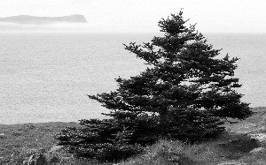 FAR EAST: A stunted black spruce faces the ocean in the barrens at Cape Spear, Newfoundland, the easternmost point in North America. (Jan Jekielek/The Epoch Times)