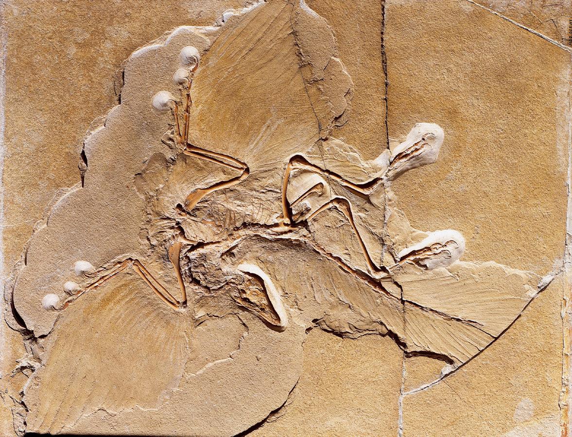 Urvogel Archaeopteryx lithographica mit vier Flügeln?