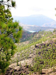 Kanarische Pinie auf 1.000 m Höhe. (