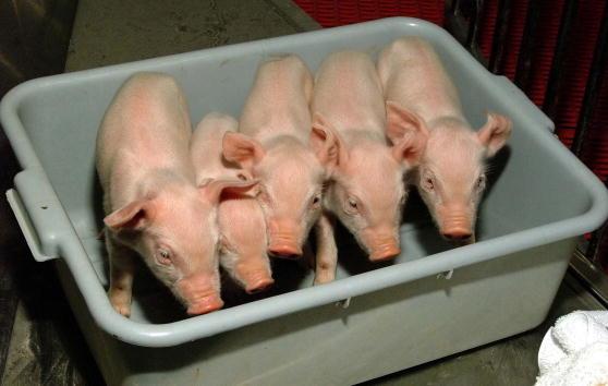 """US-Gesundheitsbehörde auf dem Weg zur Zulassung von """"geklonten Lebensmitteln"""""""