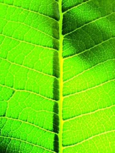 Energielieferant Wasserstoff könnte klimaneutral nach dem Photosyntheseprinzip entstehen.