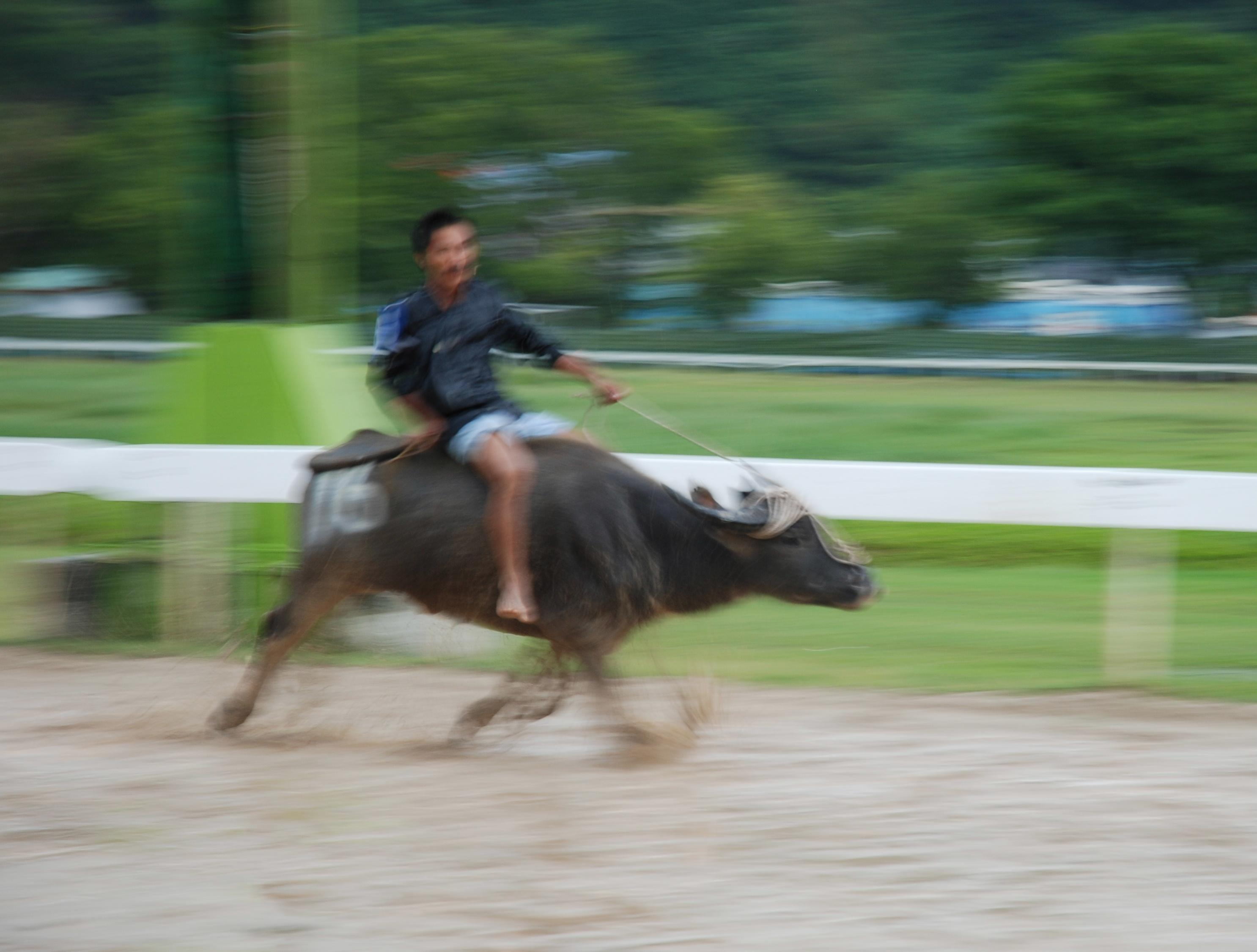 Water Buffalo Racing in Borneo