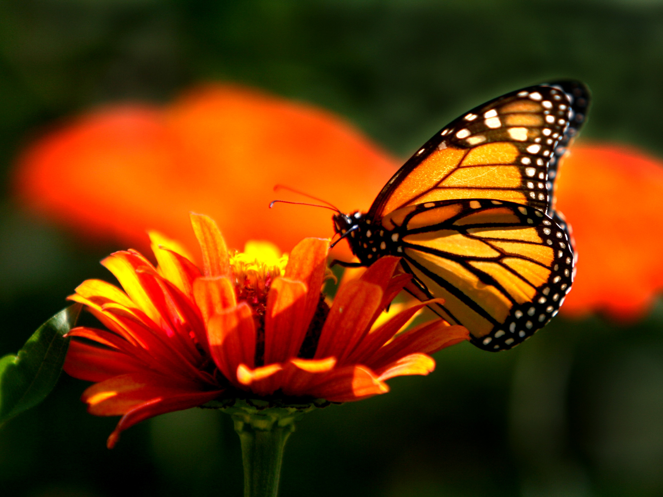 """Vom beflügelten Wanderleben der """"Monarchen"""""""