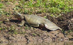 Euphrat-Weichschildkröte. Wahrscheinlich kommt  sie weltweit nur noch am Tigris vor, da der Euphrat mit Staudämmen durchzogen ist. Sie ist kaum erforscht. Man weiß nicht, wo sie ihre Eier legt. Gibt es sie häufig, nicht häufig? (U.Eichelmann)