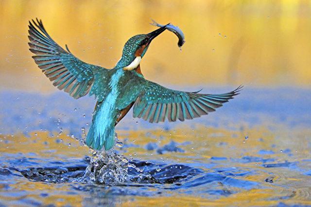 Wegen seines schillernden Gefieders wird der Eisvogel oft als fliegender Edelstein bezeichnet. (Manfred Delpho)