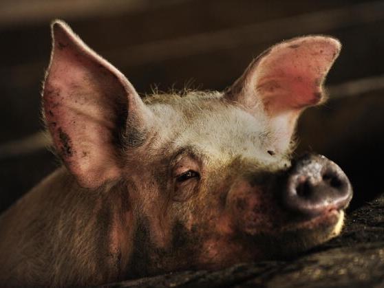 China hat keine Schweinegrippe, aber den Impfstoff dagegen