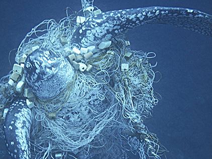 """In  herkömmlichen Fischfangsystemen enden Lederschildkröten als """"Beifang"""". (Michel Gunther)"""