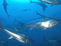 Ist der Rote Thunfisch noch zu retten?