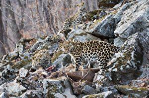 Die junge Leoparden-Familie beim gemeinsamen Fressen in einem Steinbruch.