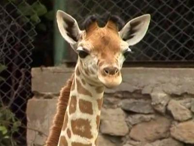 Indonesia's Safari Park Welcomes Baby Giraffe