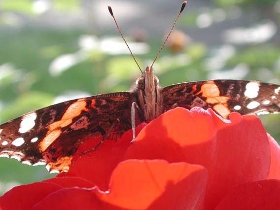 Der Freund der Schmetterlinge