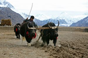 Ein Foto aus dem Jahre 2006: Eine Tibeterin  arbeitet mit Yaks und pflügt ihr Feld. Die tibetischen Nomaden bearbeiteten für gewöhnlich das Gebiet ihrer Herbstfelder,  das in einer Höhe von 3 800 Metern lag. Die kommunistischen chinesischen Behörden jedoch, die Tibet regieren, haben durch Dekret veranlasst, dass alle tibetischen Nomaden vom Grünland weggeschickt und in  Umsiedlungszentren dauerhaft angesiedelt werden. Peking hat festgesetzt, dass dieses Projekt bis zum Jahre 2011 durchgeführt sein muss.