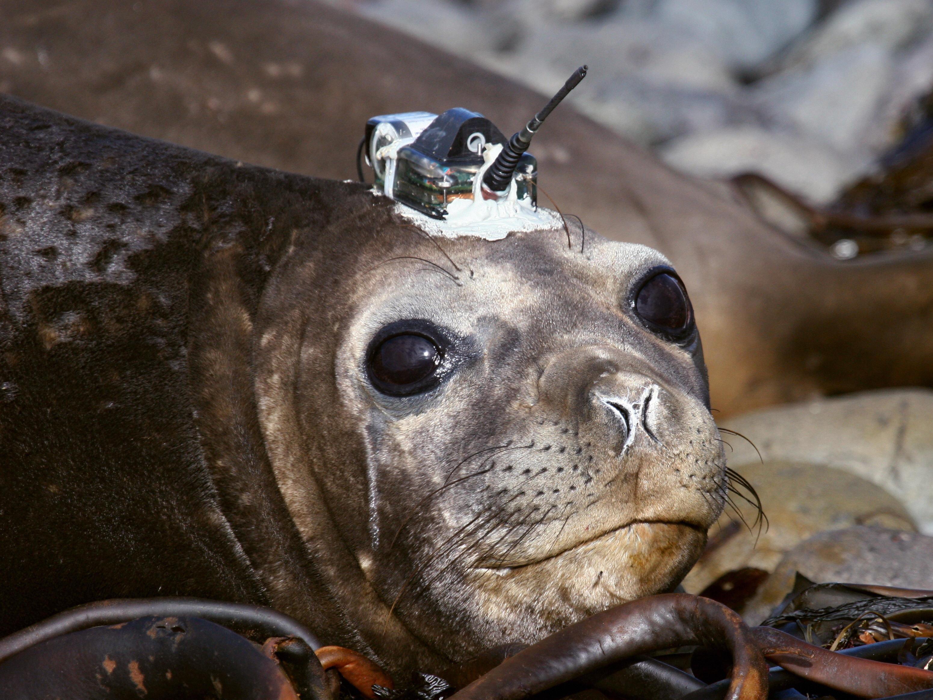 See-Elefanten übertragen per Satellit Daten von der Antarktis nach Bremerhafen