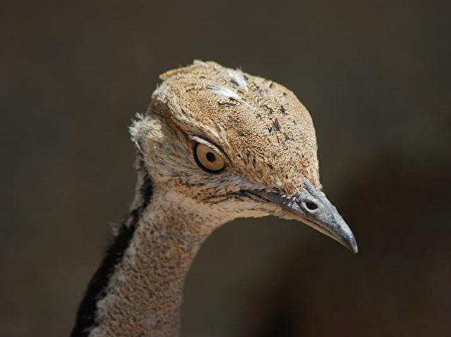 Die Kragentrappe ist ein Wüstenvogel, der von Nordafrika bis zur Mongolei verbreitet ist. Ihr Bestand gilt als gefährdet. Foto: Adeline Loyau, UFZ/CNRS