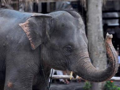Touristen letzte Hoffnung für Thai-Elefanten