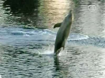 Australien: Delfin gibt Showeinlage an wilde Delfine weiter