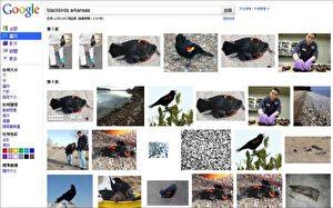 Nur männliche Vögel fallen in Arkansas: Der Screenshot einer Google-Suche zeigt Fotos vom Vogelsterben in Arkansas. Alle fotografierten Vögel waren männlich.