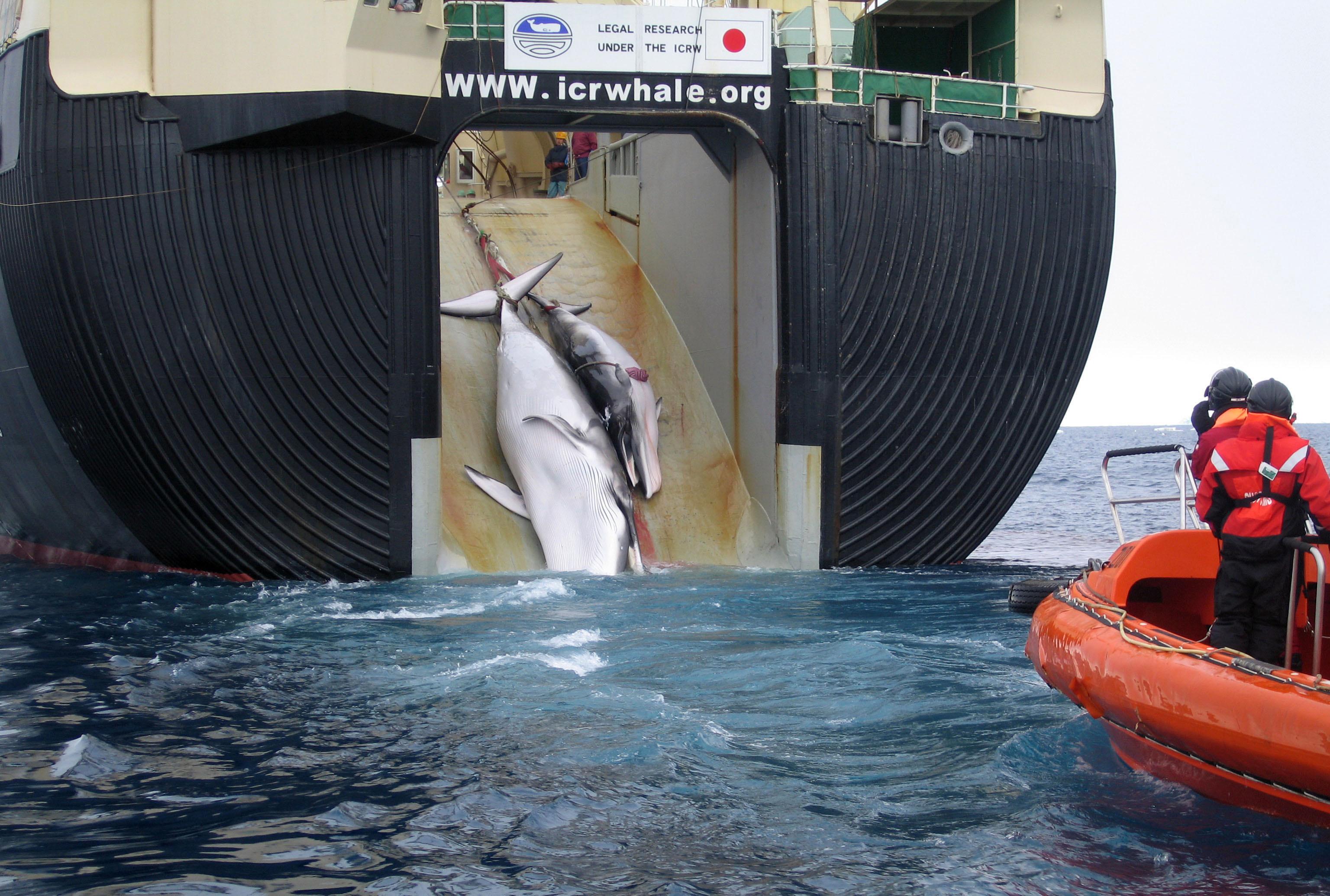 Island provoziert die Internationale Walfang-Kommission