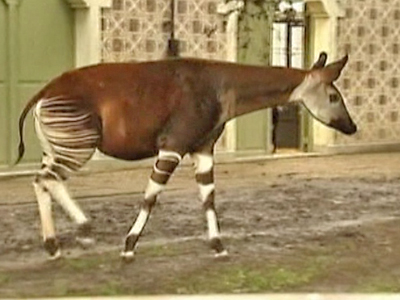 Belgian Zoo Welcomes Baby Okapi