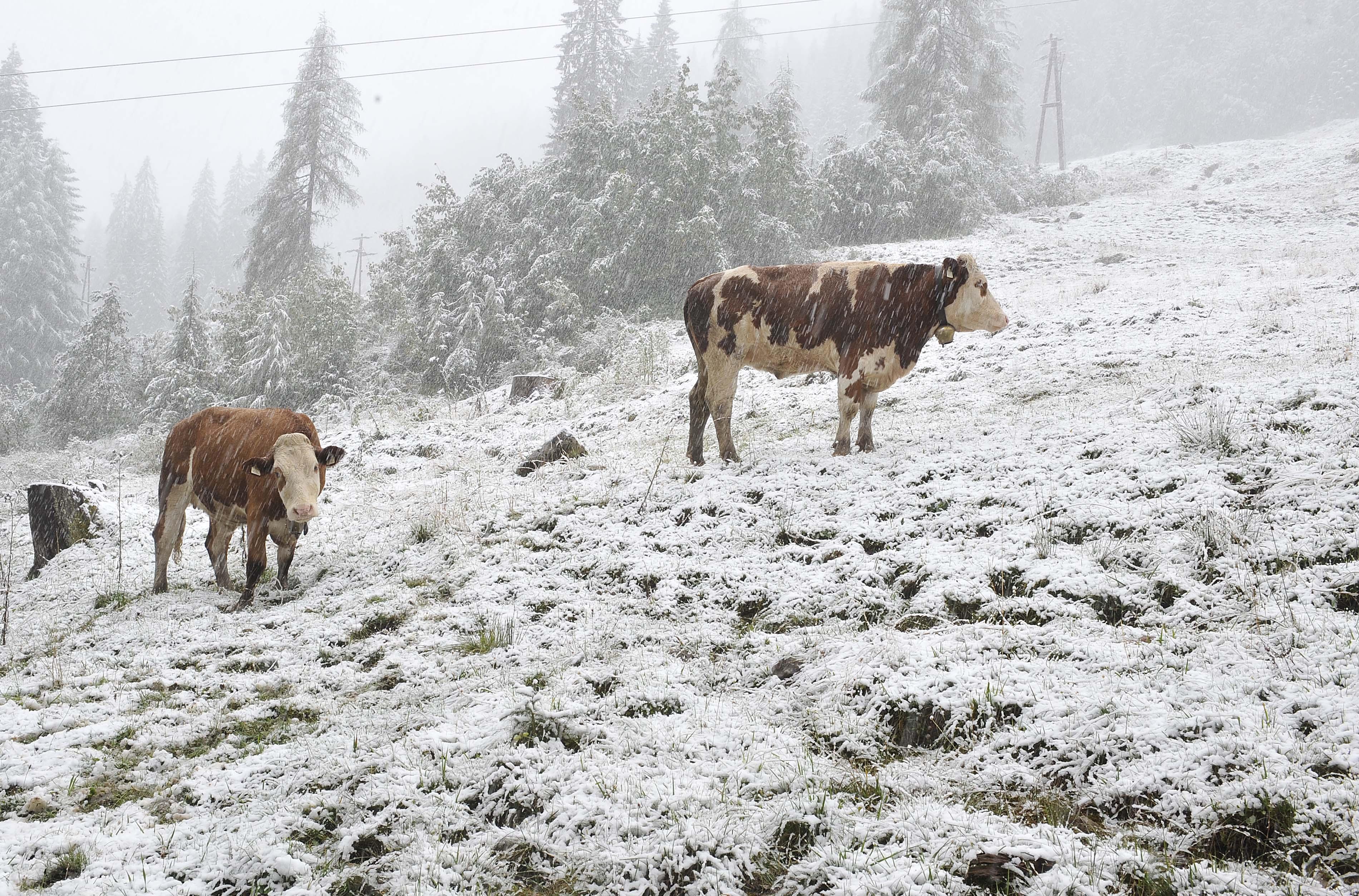Abc, die Rinder liefen im Schnee