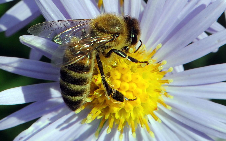 Bienennahrung im Herbst