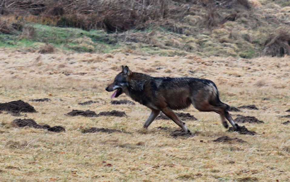 Scheuer Wolf im Landkreis Neuwied fotografiert