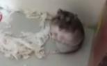 Süß: Hamster wird 'erschossen' und stellt sich tot