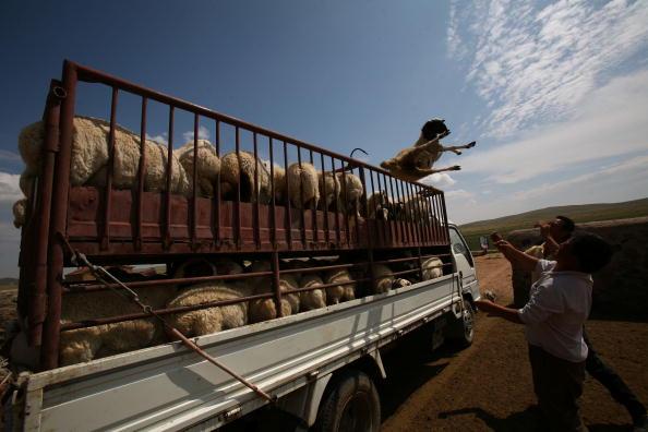China: Anzeichen für eine Brucellose-Epidemie nehmen zu