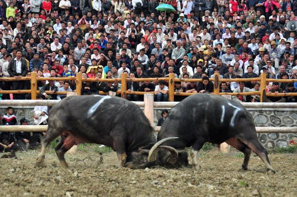 """Stierkampf ist in manchen Regionen in Chinaauch ein beliebter """"Spaß""""."""