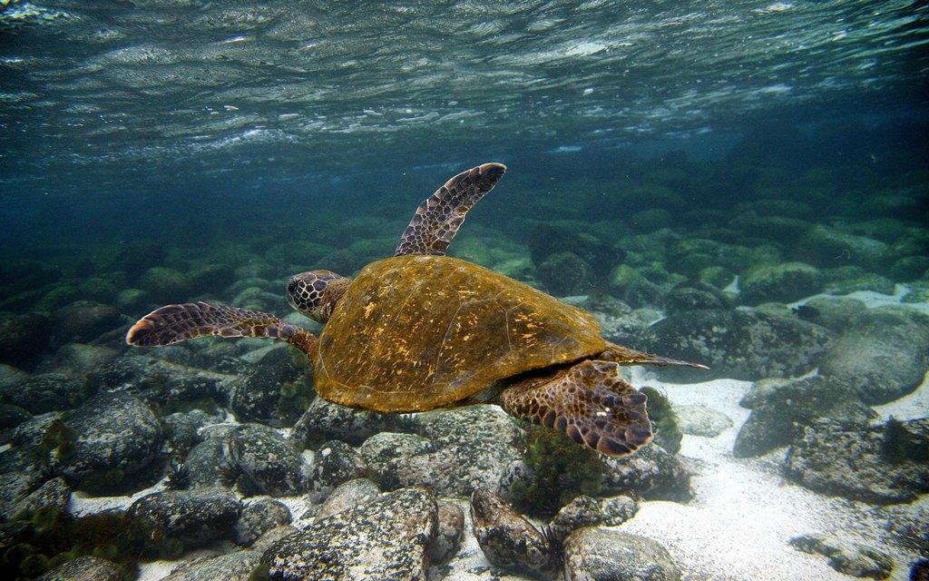 Suppen-Schildkröte resistent gegen Klimawandel
