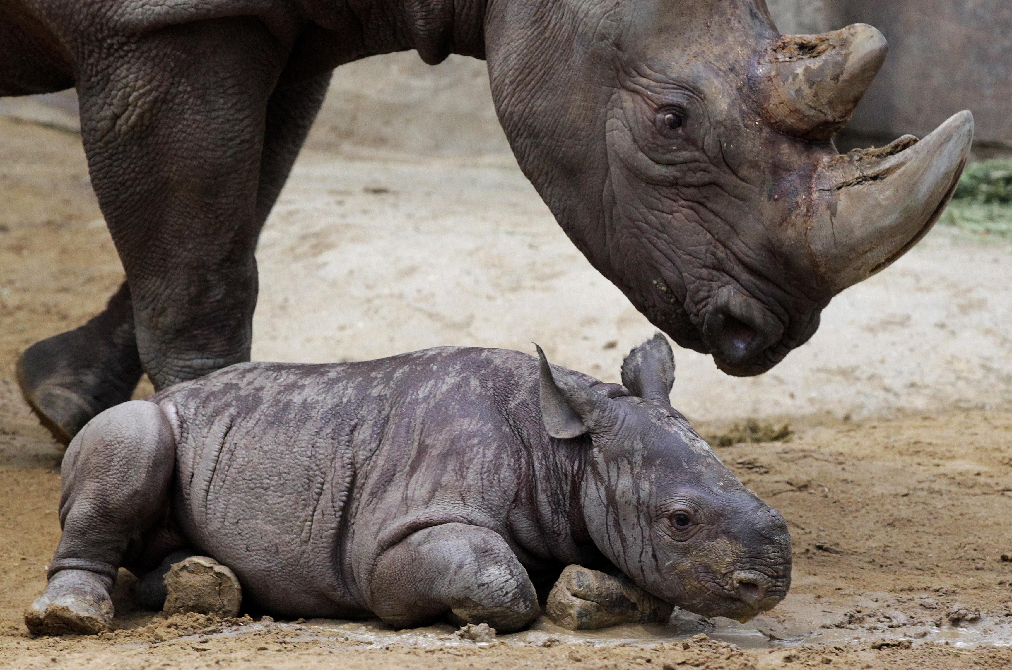 Vietnam: Nashorn-Pulver bedroht Nashorn-Bestand weltweit