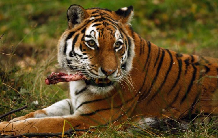 Von der Symbolkraft des Tigers