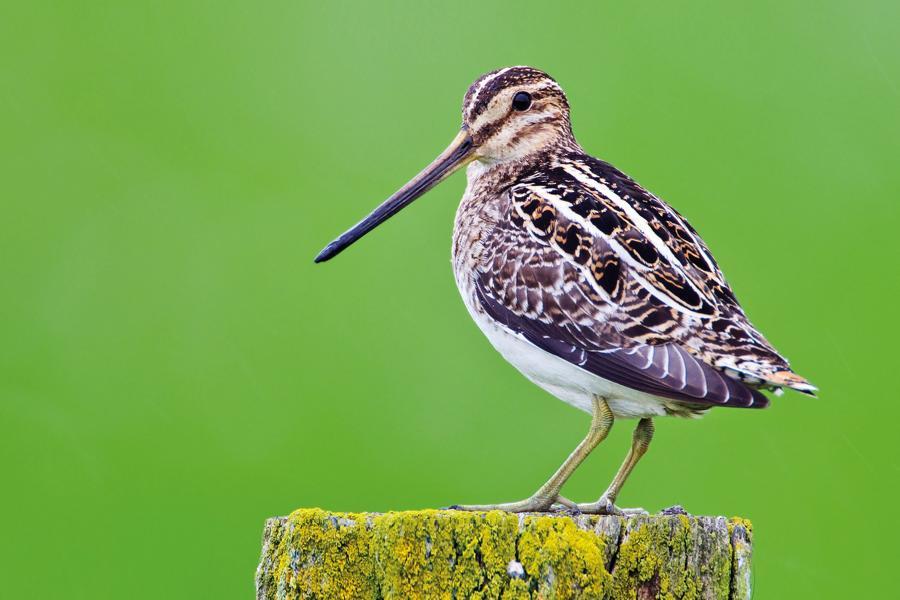 Bekassine ist (Pech-)Vogel des Jahres 2013