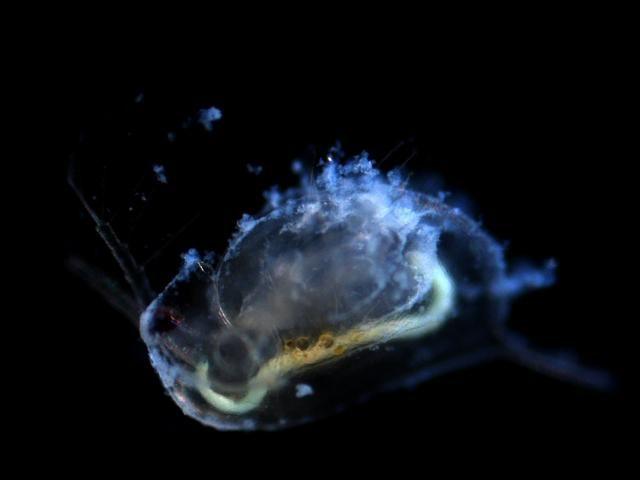 Nanopartikel können sich auf Wasserflöhen ablagern. Foto: Andre Dabrunz