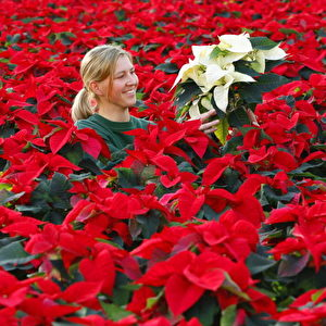 A worker sorts poinsettias (known as Christmas flowers - Euphorbia Pulcherrima) in a green house in Langerwisch 06 Weihnachtsstern-Zucht.   Foto: AFP/Getty Images