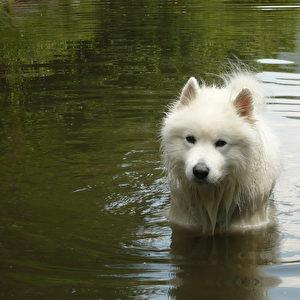 Schlittenhund, Hütehund, Wachhund, Arbeitshund, Schmusehund - aber kein Sitz!-Platz!-Gib-Pfötchen-Hund!  Foto: AGG